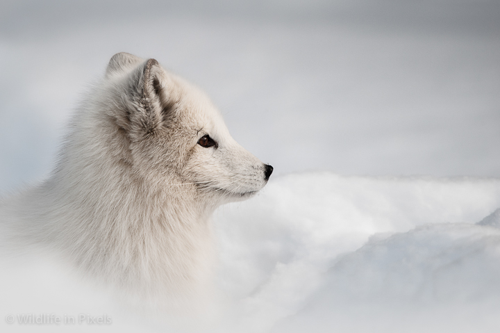 Arctic Fox in Deep Sno...